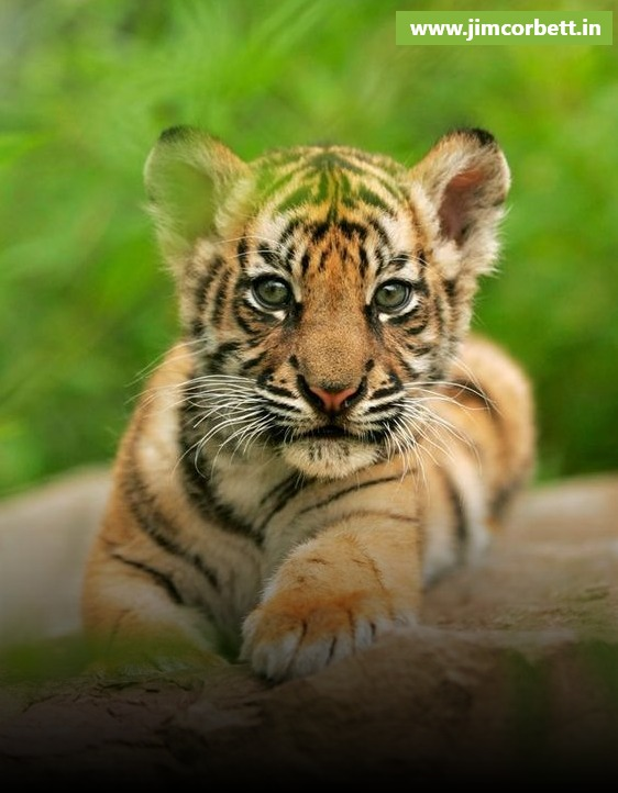The Increase In The Population of Tigers in Jim Corbett; A Top of the World Achievement for India
